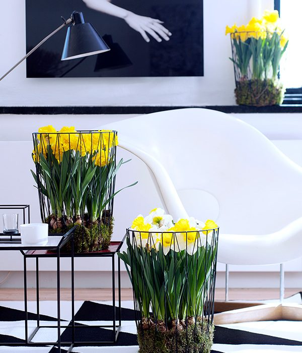 Narcis: woonplant van de maand februari