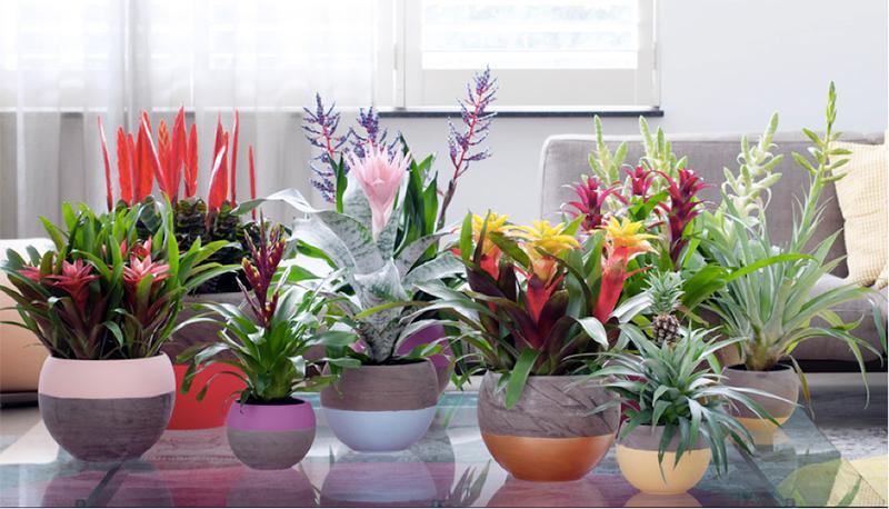 Ananas als kamerplant