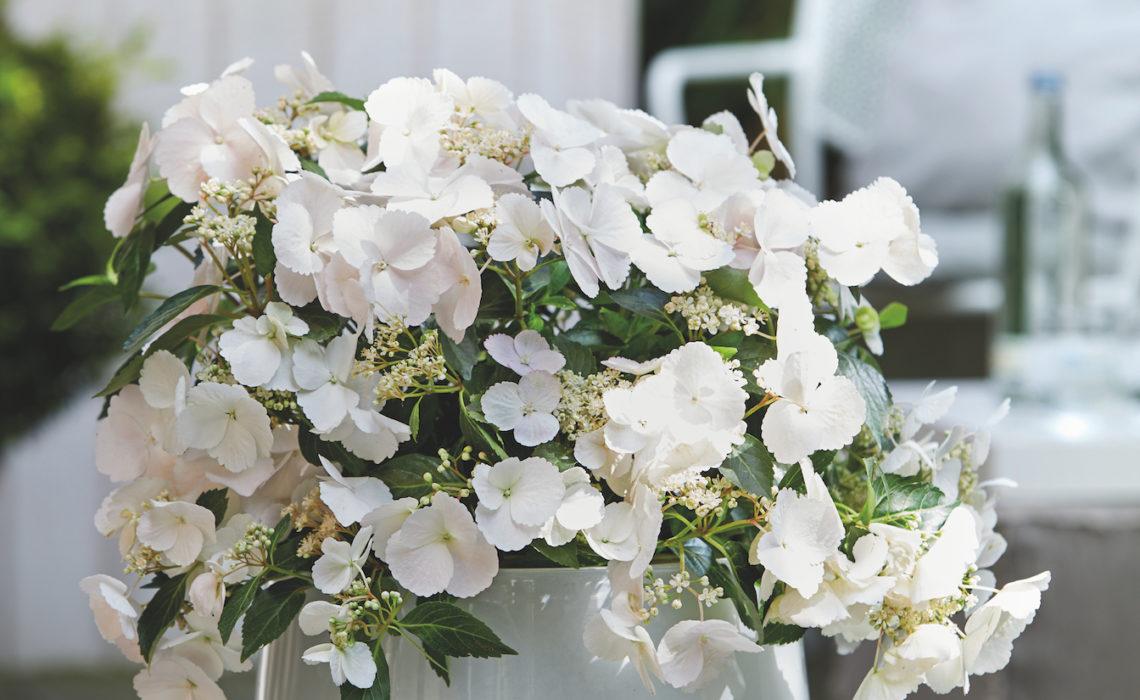 Nieuwe hortensia: Runaway Bride