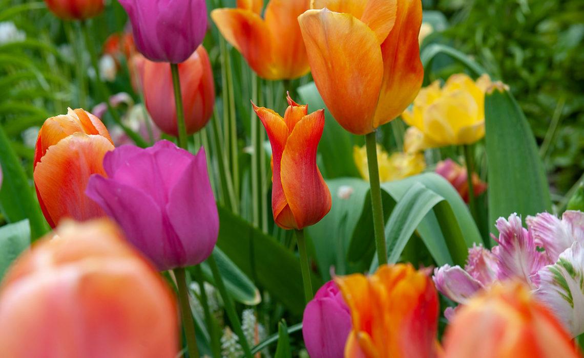 Waar moet je op letten bij het kopen van bloembollen?