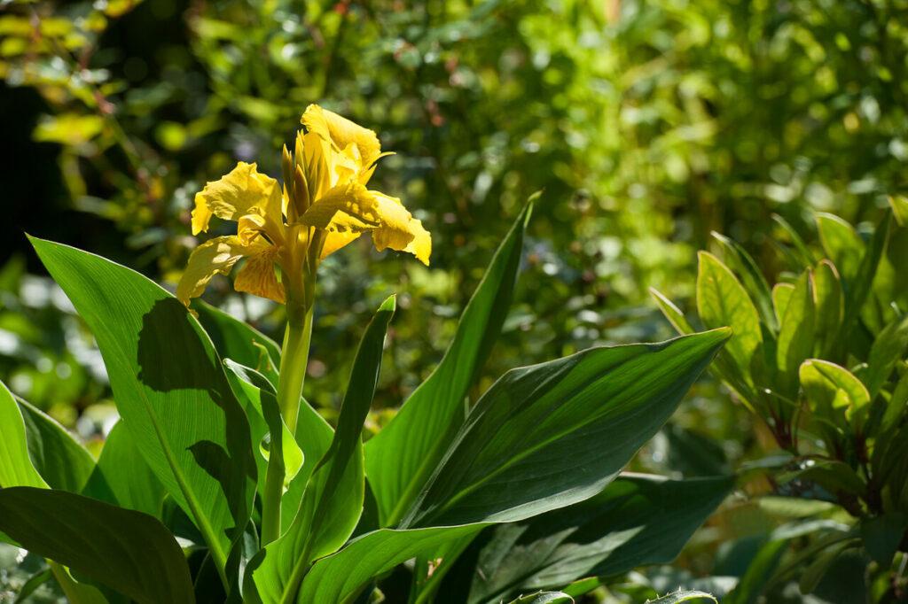 Indisch bloemriet (Canna)