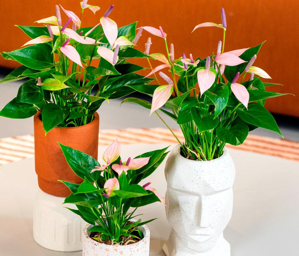 flamingoplant-anthurium-2