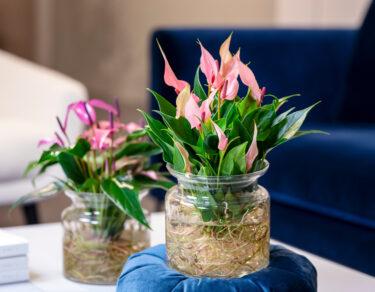 flamingoplant-anthurium